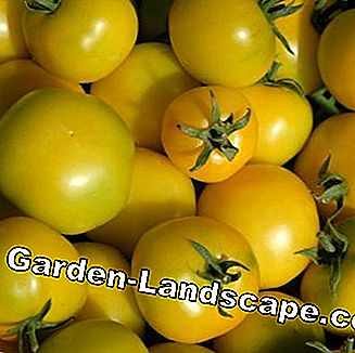 Type de tomate 'Golden Queen'