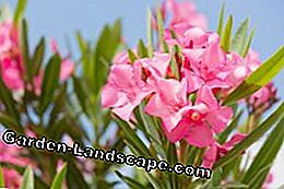 Oleander zorg fout
