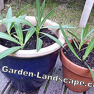 planted oleander cuttings