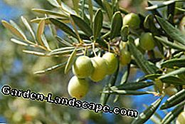 Olive tree cutting - tips and instructions