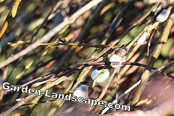 Salweide, Salix caprea - plants, care and cutting: care