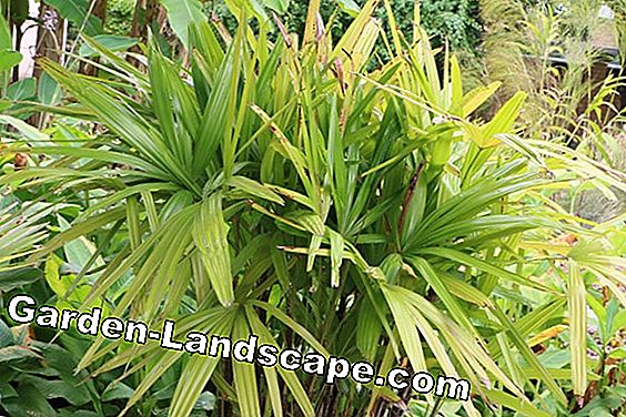 Stick Palm - Rhapis excelsa