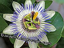 To draw a passion flower yourself is very easy