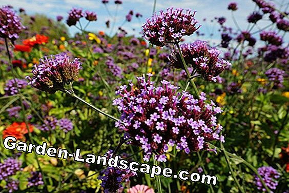 Patagonian verbena, Verbena bonariensis - care instructions