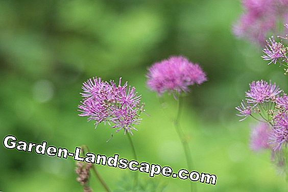 Meadow rue - Thalictrum