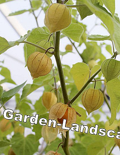 Physalis in the greenhouse