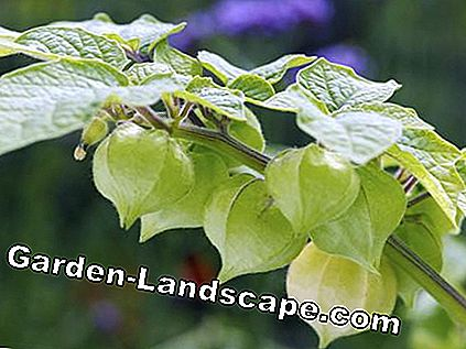 Physalis peruviana 'Little Lanterns'