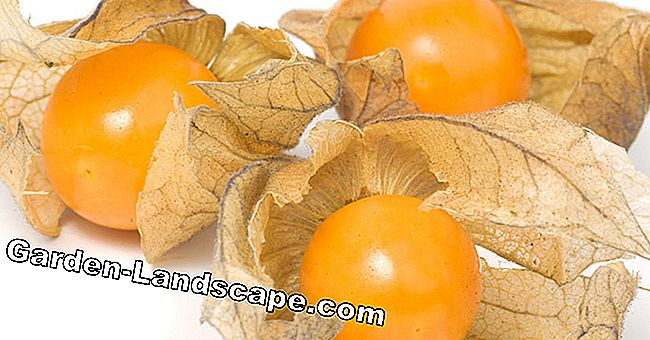 Physalis, Andes-bes