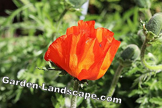 Turkish poppy: is he hardy? Information about wintering: poppy