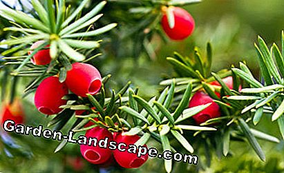Fruits yew taxus baccata