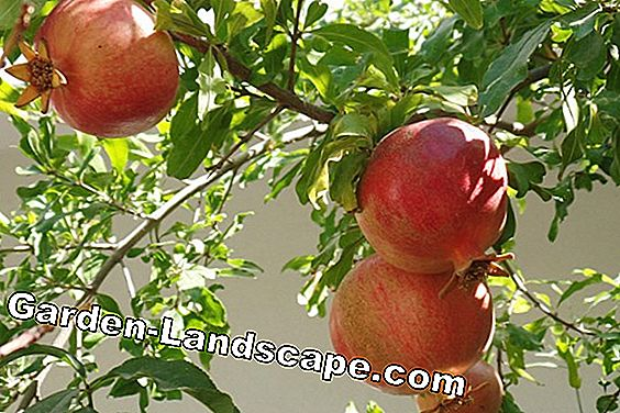 Pomegranate tree care from A to Z + so overwinter the pomegranate: tree