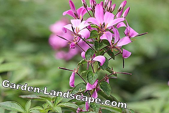 Spinbloem - Cleome-spinosa