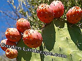 Prickly pears are undemanding plants