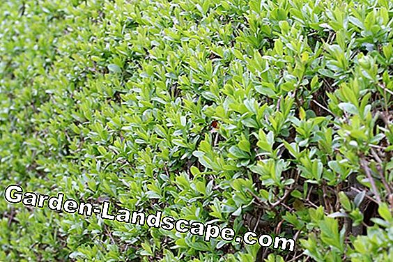 Privet cutting - instructions