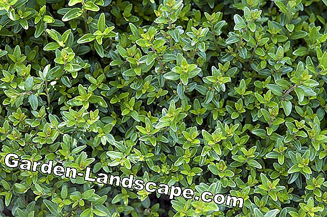 Hedge myrtle May green