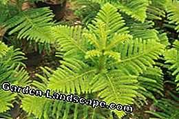 Planting a fir - Tips for soil, vessel and drainage