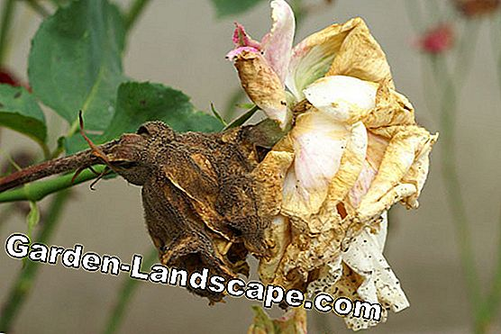 Roses Diseases - Causes, Defects and Control: leaves
