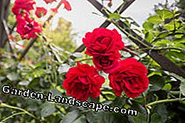 Roses diseases: causes, damage pictures & control