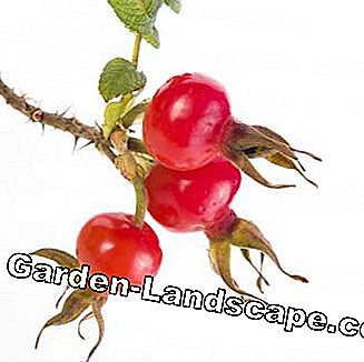 Rosehip of dog bangkit