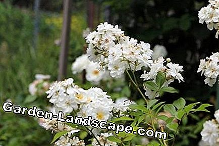 Roses - species and care: garden