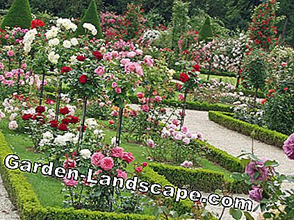 Rose Garden Parc Bagatelle Parijs