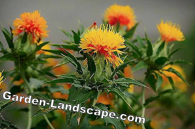 Inflorescence of the safflower