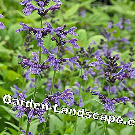 Meadow sage Salvia pratensis