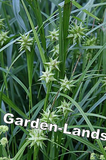 Morningstar sedge (Carex grayi)
