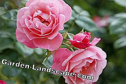 Shrub rose 'My'