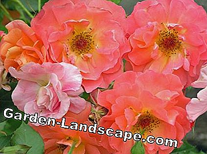 Shrub rose 'Westerland'