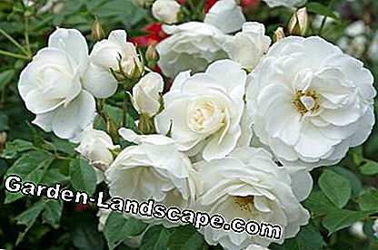 Shrub rose 'Snow White'