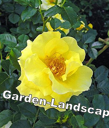 Shrub rose 'Light Queen Lucia'
