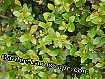 Sick boxwood? The best replacement plants: sick