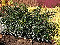 Sick boxwood? The best replacement plants: plants