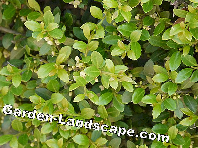 Sick boxwood? The best replacement plants: best