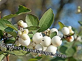 Snowberries are also called peas