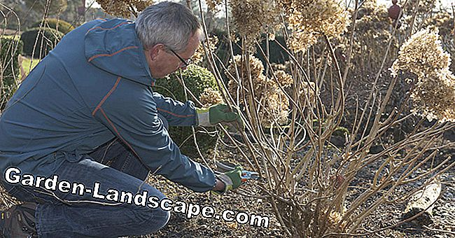 How to cut your panicle hydrangeas