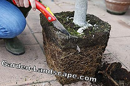 Repot lavender - pruning roots