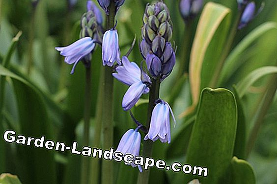 Hare bells - Hyacinthoides