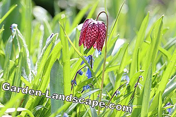 Chess Flower - Fritillaria meleagris