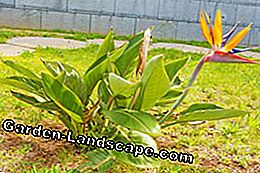 Strelitzia like it warm
