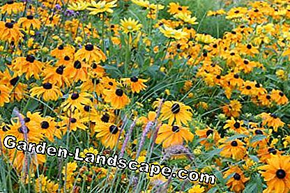 Rough Sunhats (Rudbeckia hirta)
