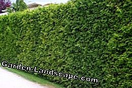Plant Thuja hedge
