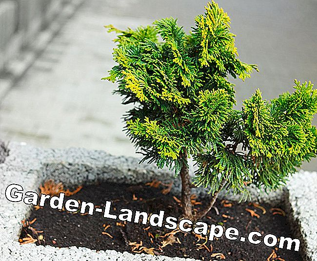 Keeping thuja in the pot - So plant and water the container plant properly