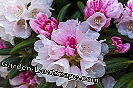 Rhododendron care tips