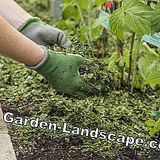 Mulching raspberries with grass clippings