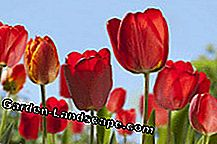 Tulips are undemanding