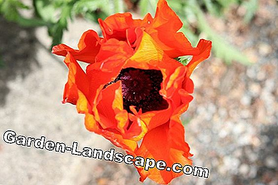 Turkish poppy - Papaver orientale