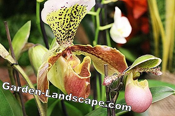 Pantoufle Orchid Lady - Cypripedium phragmipedium