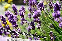 Very popular among the labiates: lavender